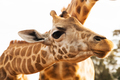 close up of giraffes in africa - PhotoDune Item for Sale