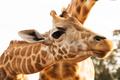 close up of giraffes in africa