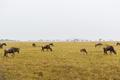 wildebeests grazing in savannah at africa