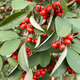 Red berries on ornamental bush - PhotoDune Item for Sale