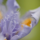 Blue and yellow Iris flower detail - PhotoDune Item for Sale
