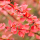 Red leaves on ornamental bush - PhotoDune Item for Sale