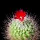 Cactus Flower Blooming