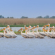white pelicans (pelecanus onocrotalus) - PhotoDune Item for Sale