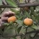 Man Picked Tangerines from the Branches - VideoHive Item for Sale