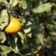 Orange Mandarins Grow on a Tree, Green Leaves, Wind Swaying - VideoHive Item for Sale