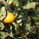 Orange Mandarins Grow on a Tree, Green Leaves, Wind Swaying - VideoHive Item for Sale