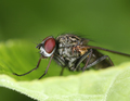 Red eyed fly on a green leaf macro - PhotoDune Item for Sale