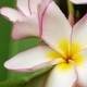 of Lilac Frangipani or Plumeria Flower with Some Drops After Tropical Rain, Shallow Depth of Field - VideoHive Item for Sale
