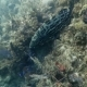 Big Grupper Floats Near Bottom on the Coral Reef in the Caribbean Sea - VideoHive Item for Sale