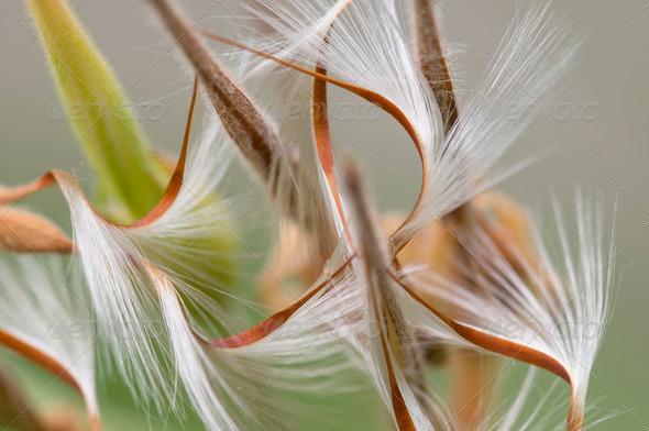 Geranium seeds - Stock Photo - Images