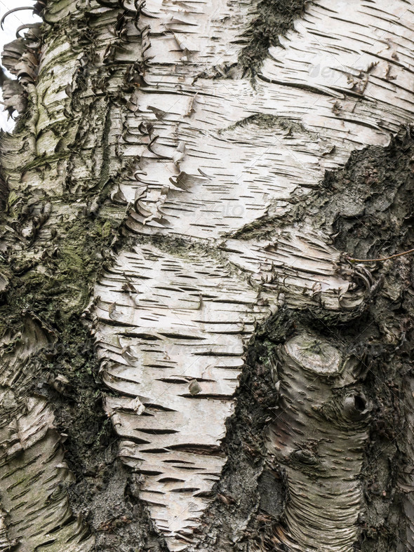 Birch tree - Stock Photo - Images