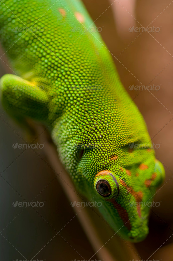 Tropical gecko - Stock Photo - Images