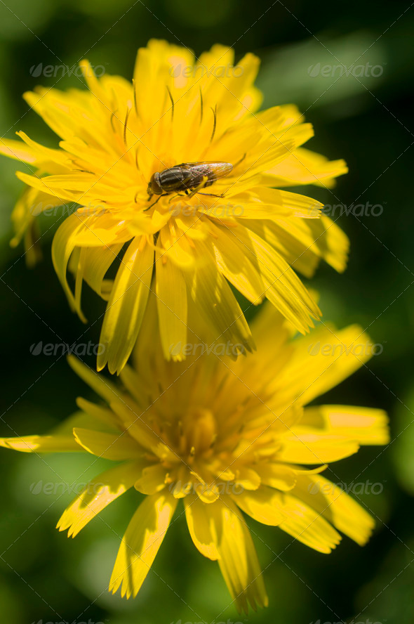 Dandelion flowers with fly - Stock Photo - Images