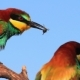 Marriage Courtship of Birds of Paradise - VideoHive Item for Sale