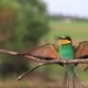European Bee-eater Flies and Sits on a Branch To Rest - VideoHive Item for Sale