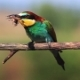 Colored Exotic Bird Eating May Beetle - VideoHive Item for Sale