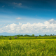 Green Rice Field Under Clouds - VideoHive Item for Sale
