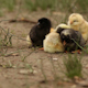 Group of Newborn Yellow and Black Chicks - VideoHive Item for Sale
