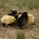 Newborn Chicks learning How to Stand - VideoHive Item for Sale