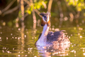 Great Crested Grebe  with chicks