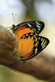 Butterfly couple mating on a tree - PhotoDune Item for Sale