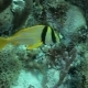 Yellow Fish with Black Stripes Floating Near the Reef Bottom - VideoHive Item for Sale