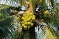 Coconut cluster on coconut tree - PhotoDune Item for Sale