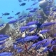School of Blue Fish Floating on the Coral Reef - VideoHive Item for Sale