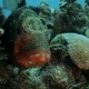 Big Grupper Under the Stone in the Coral Reef - VideoHive Item for Sale