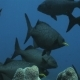 A Group of Black Fish Floatig Around Pipe Coral on the Reef - VideoHive Item for Sale