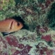 Longspine Squirrelfish in the Coral Hole - VideoHive Item for Sale