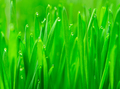Microgreens Growing Panoramic Dew on Wheatgrass Blades - PhotoDune Item for Sale