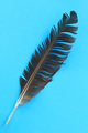 Closeup of black feather - PhotoDune Item for Sale