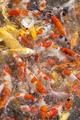 Japanese koi fish - PhotoDune Item for Sale