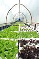 Fresh butterhead salad lettuce - PhotoDune Item for Sale