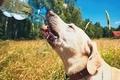 Thirsty dog in summer day