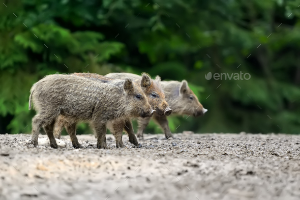 Young wild boar - Stock Photo - Images
