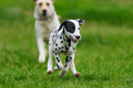 Dalmatian dog outdoors in summer - PhotoDune Item for Sale