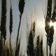 Green Wheat  at Sunset - VideoHive Item for Sale
