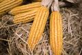 Dried corn cob - PhotoDune Item for Sale