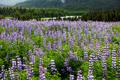 Flowers in Alaska - PhotoDune Item for Sale