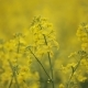 Blooming Yellow Flowers Colza in Rapeseed Field - VideoHive Item for Sale