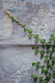 Green creeper plant on wall - PhotoDune Item for Sale