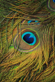 Peacock feather as a background - PhotoDune Item for Sale