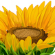 Sunflower - GraphicRiver Item for Sale