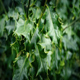 Holly Plant Closeup - VideoHive Item for Sale
