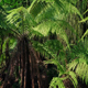 Huge Tropical Ferns In The Sun