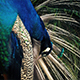 Peacock Preening Its Feathers Closeup - VideoHive Item for Sale