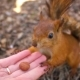Small Sweet Red Squirrel Takes a Nut From Hand in the Forest, - VideoHive Item for Sale